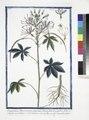 Sinapistrum Americanum, spinosum, Cleome foliis hexandris, foliis septernatis quinatisque, caule spinoso - Senapistro spinoso.(Mustard) (NYPL b14444147-1130509).tiff