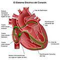 Sistema de conducción del corazón.jpg