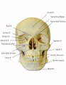 Skull-anterior-labeled.png