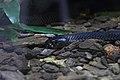 Snake (15003030103).jpg