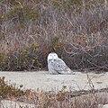 Snowy Owl -92 100- (38775838032).jpg