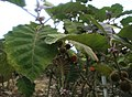 Solanum quitoense 4.jpg