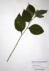 Solidago flexicaulis BW-1979-0914-9968.jpg
