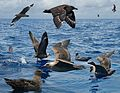 South Polar Skua From The Crossley ID Guide Eastern Birds.jpg