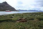 Southern Elephant Seals at Grytviken, South Georgia (5663041101).jpg