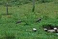 Southern Lapwing (Vanellus chilensis) 2015-06-12 (3) (39430518215).jpg