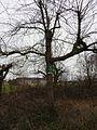 Spätblühende Traubenkirsche (Prunus serotina) März 2012.JPG