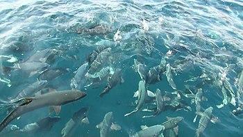 特別天然記念物、鯛の浦タイ生息地。海面に浮上した真鯛の群れ。(2011... Wikipedia
