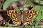 Speckled wood (Pararge aegeria aegeria) male.jpg