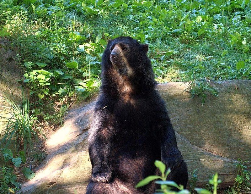 Spectacled Bear 161 (2).jpg
