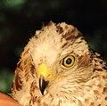 Sperwer (Accipiter nisus) 01.JPG