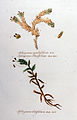 Sphagnum cymbifolium — Flora Batava — Volume v11.jpg