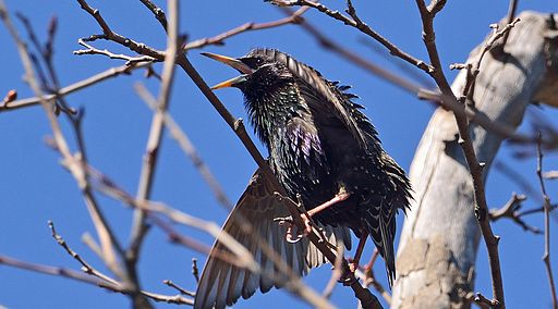 Spinus-common-starling-2015-03-n032330-w