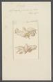 Spongia paniceum - - Print - Iconographia Zoologica - Special Collections University of Amsterdam - UBAINV0274 112 05 0031.tif