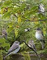Spotted Flycatcher from the Crossley ID Guide Britain and Ireland.jpg