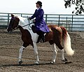 Spotted Saddle Horse3.jpg