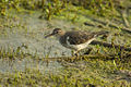 Spotted Sandpiper - Texas - USA H8O5117 (15841208991).jpg