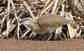 Squacco Heron, Ardeola ralloides at Marievale Nature Reserve, Gauteng, South Africa (15021908034).jpg