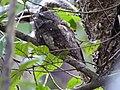 Sri Lankan Frogmouth Batrachostomus moniliger by Dr. Raju Kasambe DSCN0942 (29).jpg