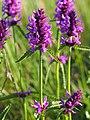 Stachys officinalis Bukwica zwyczajna 2020-07-12 04.jpg