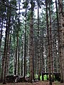 Stand of Scorched Trees - Nakafurano - Hokkaido - Japan (48006123757).jpg