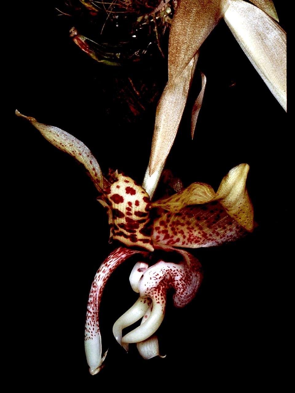 Stanhopea hernandezii Orchi 001