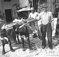 Stara kravja oprema (vprega); jegú za par krav, Kal 11, pri Čotenki, Jožef Komac 1952.jpg