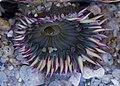 Starburst sea anemone (12278).jpg