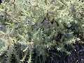 Starr-020701-0001-Ulex europaeus-Tetranychus lintearrus gorse biocontrol webbing-HNP nr research-Maui (24182761459).jpg