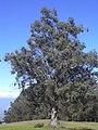 Starr-031214-0076-Eucalyptus globulus-habit-Crater Road-Maui (24677378195).jpg