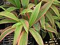 Starr-060922-9196-Cordyline fruticosa-leaves-DLNR baseyard Kahului-Maui (24747929582).jpg