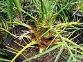 Starr-070906-8611-Phoenix roebelenii-stems and thorns-Kula Ace Hardware and Nursery-Maui (24773782782).jpg