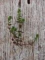 Starr-090401-5498-Veronica arvensis-plant-Olinda-Maui (24950922575).jpg