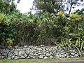 Starr-090520-8168-Montanoa hibiscifolia-habit-Keokea-Maui (24862608871).jpg