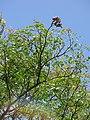 Starr-090623-1530-Adenanthera pavonina-canopy and seedpods-Nahiku-Maui (24873466291).jpg