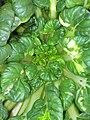 Starr-090801-3526-Brassica rapa var rosularis-habit in garden-Olinda-Maui (24340249114).jpg