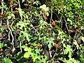Starr-110215-1377-Jatropha podagrica-flowering and seeding habit-KiHana Nursery Kihei-Maui (24982884821).jpg