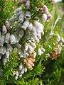 Starr-110705-4789-Erica lusitanica-flowers-Waiale Gulch-Maui (24470890273).jpg