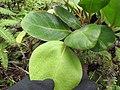 Starr-110722-7661-Polyscias oahuensis-leaves-Waihee Ridge Trail-Maui (24983273102).jpg