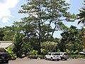 Starr-120522-6664-Ochroma pyramidale-habit and parking area-Iao Tropical Gardens of Maui-Maui (24776381629).jpg
