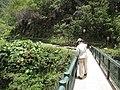 Starr-120522-6688-Monstera deliciosa-habitat with Kim on bridge-Iao-Maui (24513440564).jpg