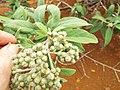 Starr-131218-2912-Pluchea carolinensis-flowers with Acinia picturata sourbush seedfly-Moaulanui-Kahoolawe (24598123704).jpg