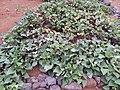Starr-141217-2951-Ipomoea batatas-plantings-Lua Makika-Kahoolawe (24618693004).jpg