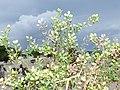 Starr-170629-0349-Lepidium virginicum-seeds-Turtle Beach Sand Island-Midway Atoll (36457347575).jpg