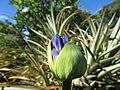 Starr-170923-0294-Agapanthus praecox subsp orientalis-flower buds-Hawea Pl Olinda-Maui - Flickr - Starr Environmental.jpg
