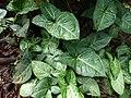 Starr-180421-0790-Syngonium podophyllum-leaves-Honolua Lipoa Point-Maui (43459251981).jpg