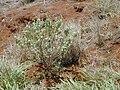 Starr 030429-0043 Achyranthes splendens var. splendens.jpg