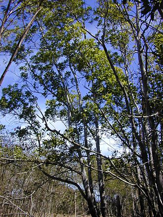 Great Southern Group - Image: Starr 031013 0012 Acacia mangium