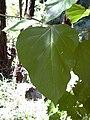 Starr 040105-0087 Croton guatemalensis.jpg