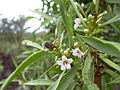 Starr 040513-0042 Myoporum sandwicense.jpg